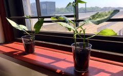 Lima Bean Plants!