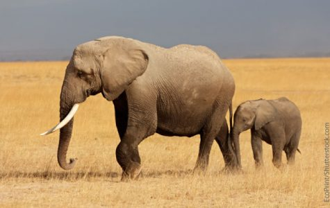 Endangered African Elephants